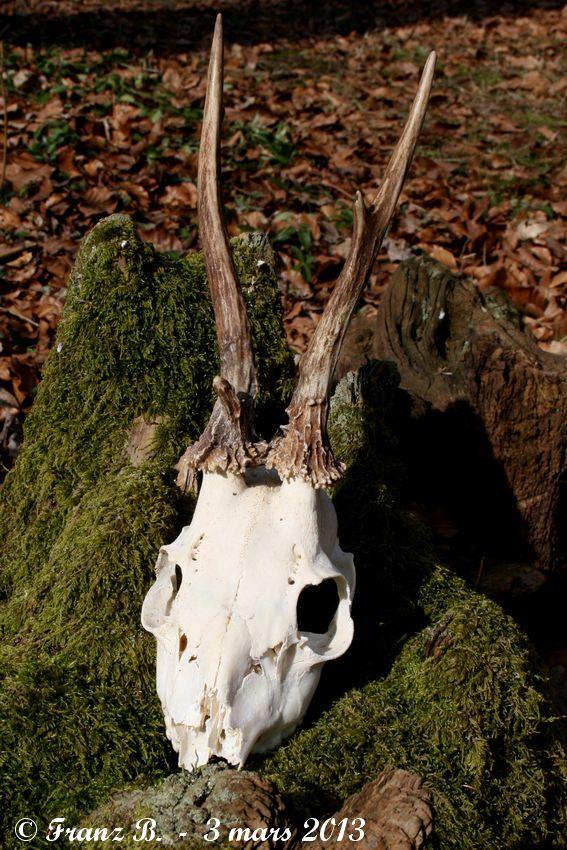 Mues de cerfs ou de chevreuils - Page 6 Img_2715