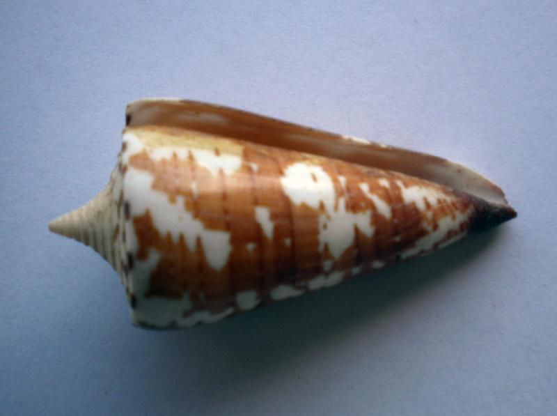 Conus (Strategoconus) maldivus   Hwass in Bruguière, 1792 - Page 2 Cane-111