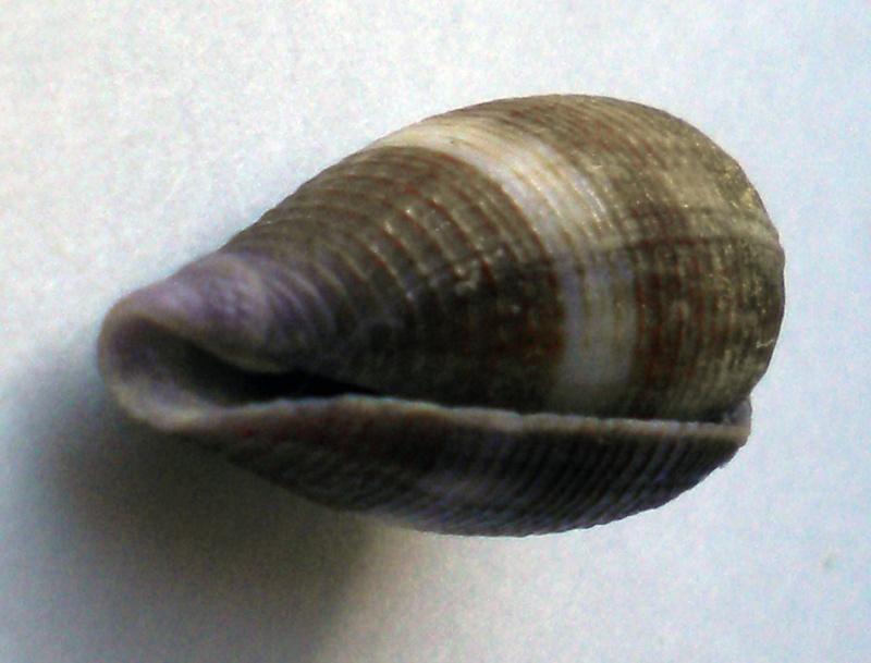 Conus (Leporiconus) glans  Hwass in Bruguière, 1792 Cane-143