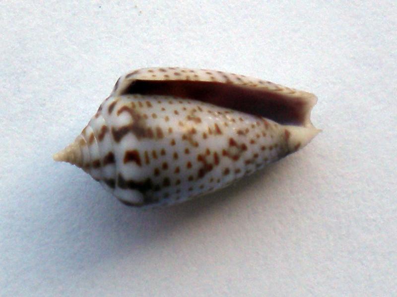 Ximeniconus (Perplexiconus) puncticulatus (Hwass in Bruguière, 1792) Cane-149