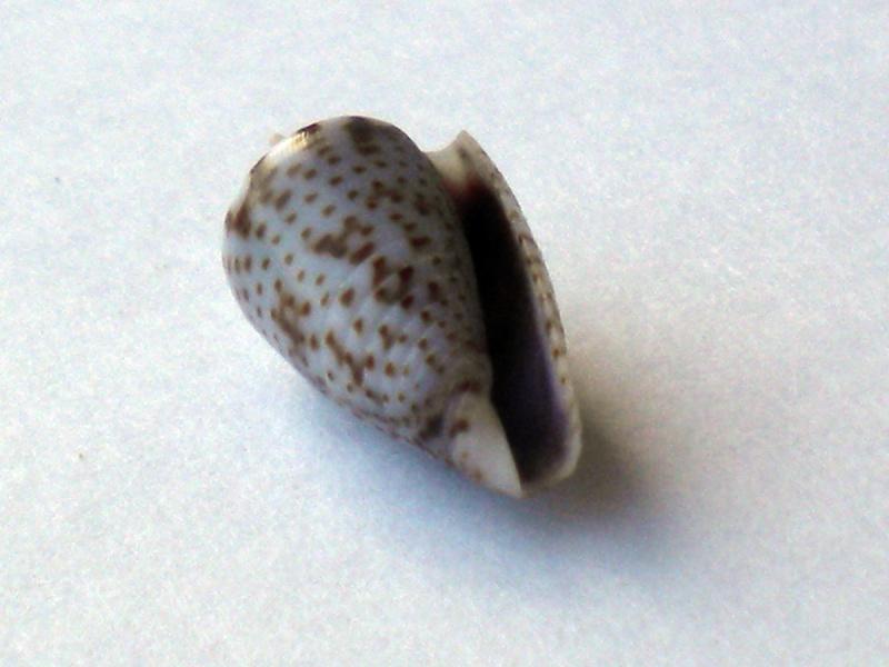 Ximeniconus (Perplexiconus) puncticulatus (Hwass in Bruguière, 1792) Cane-151