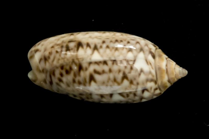 Americoliva flammulata flammulata (Lamarck, 1811) - Worms = Oliva flammulata Lamarck, 1811 - Page 3 G-iden13