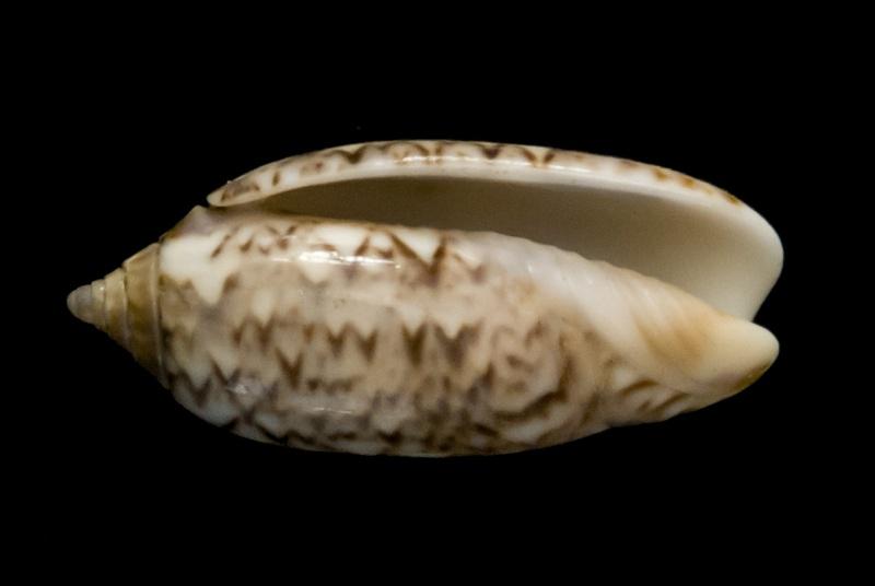 Americoliva flammulata flammulata (Lamarck, 1811) - Worms = Oliva flammulata Lamarck, 1811 - Page 3 G-iden14