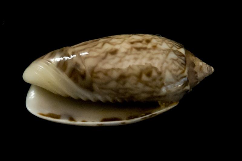 Americoliva reticularis reticularis (Lamarck, 1811) G-iden16