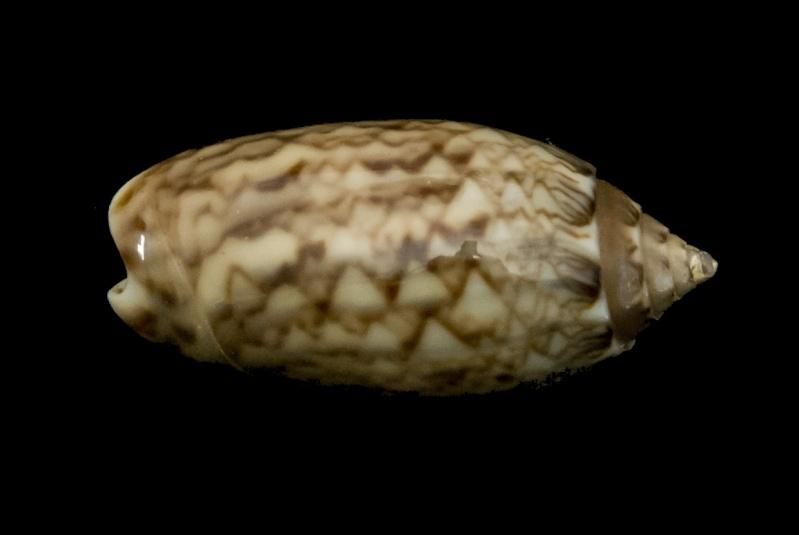 Americoliva reticularis reticularis (Lamarck, 1811) G-iden17