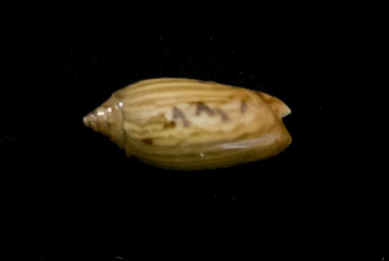 Nouvelles olives à identifier - 054 - 056 G-iden26
