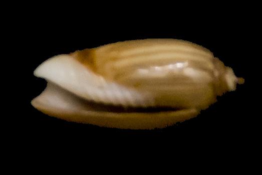 Nouvelles olives à identifier - 054 - 056 G-iden31