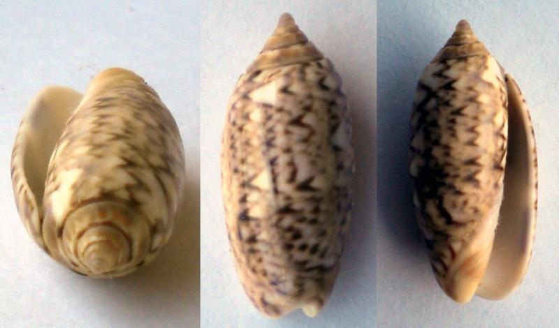 Americoliva flammulata flammulata (Lamarck, 1811) - Worms = Oliva flammulata Lamarck, 1811 - Page 2 Olive-11