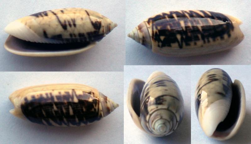 Oliva tigridella f. oriola (Lamarck, 1811) Olive-12