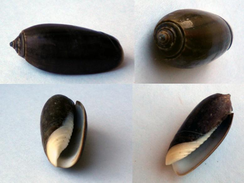 Oliva_concinna_(?) Olive-14