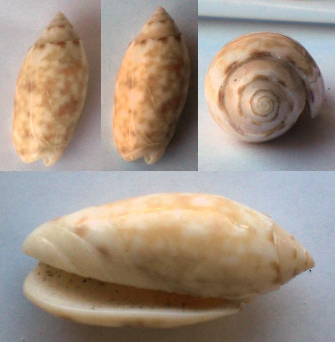 Annulatoliva amethystina (Röding, 1798) - Worms = Oliva amethystina amethystina (Röding, 1798) Olive-20