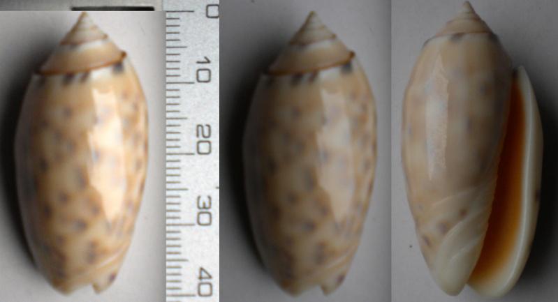 Annulatoliva annulata amethystina (Röding, 1798) - Worms = Oliva amethystina amethystina (Röding, 1798) Olive-23