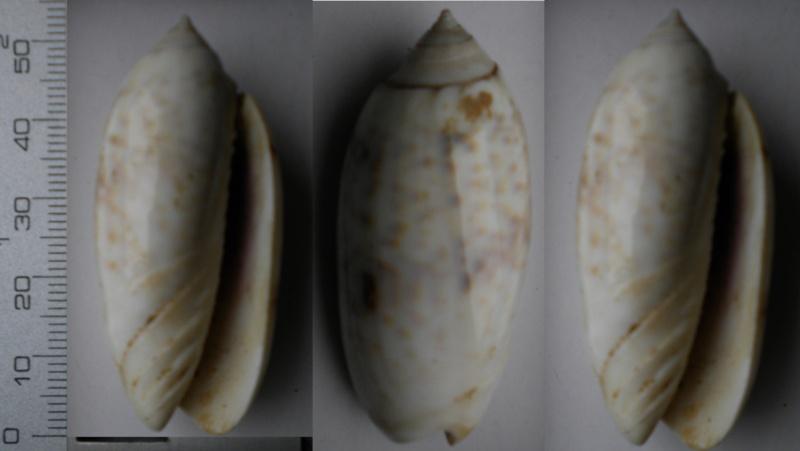 Oliva N°79 - A identifier Olive-24