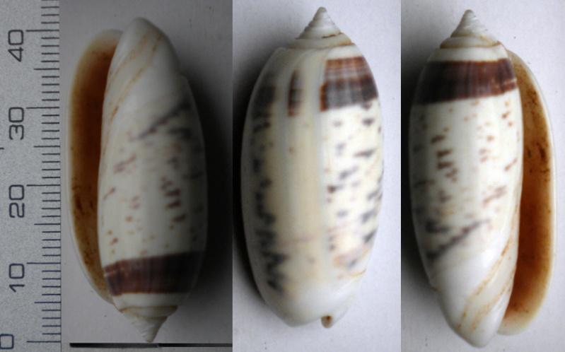 Oliva oliva f. taeniata (Link, 1807) voir Oliva oliva (Linnaeus, 1758) Olive-25