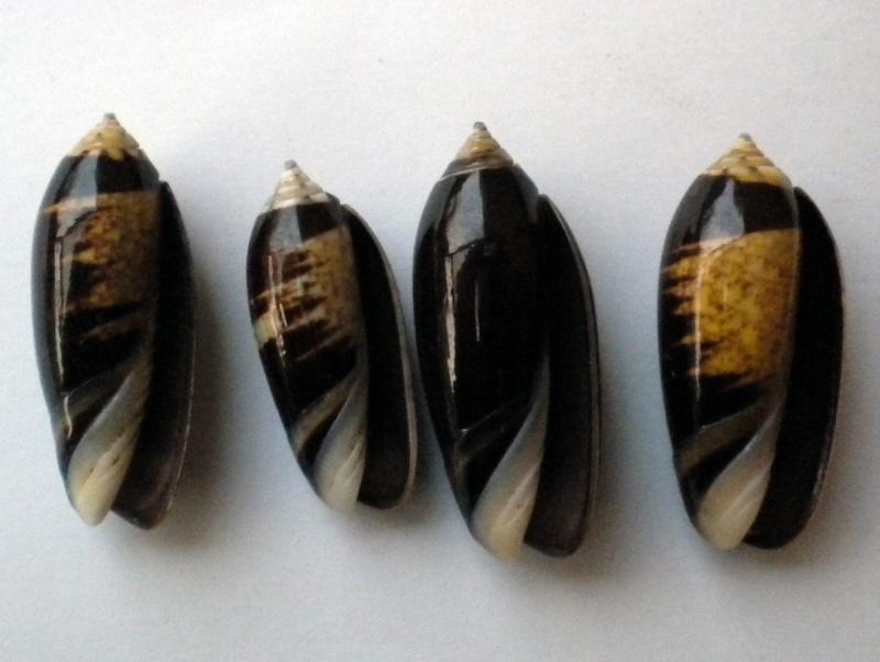 Oliva tigridella f. oriola (Lamarck, 1811) Olive_10