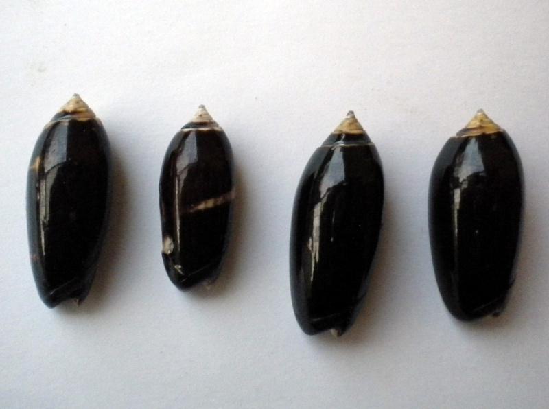 Oliva tigridella f. oriola (Lamarck, 1811) Olive_12