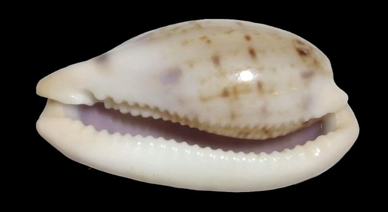 Talostolida teres natalensis - (Heiman & Mienis, 2002) Pellus11