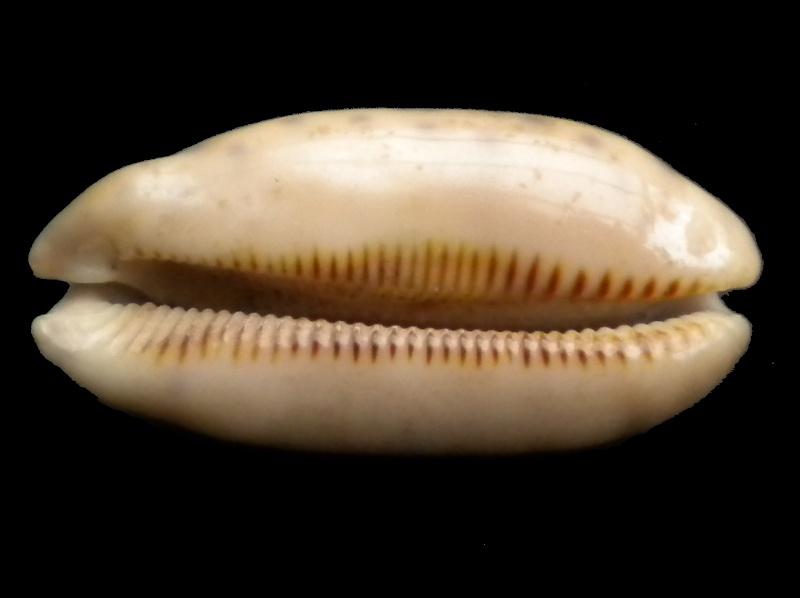 Mauritia scurra mundula - Lorenz, 2002  voir  Mauritia scurra scurra - (Gmelin, 1791) Scurra10