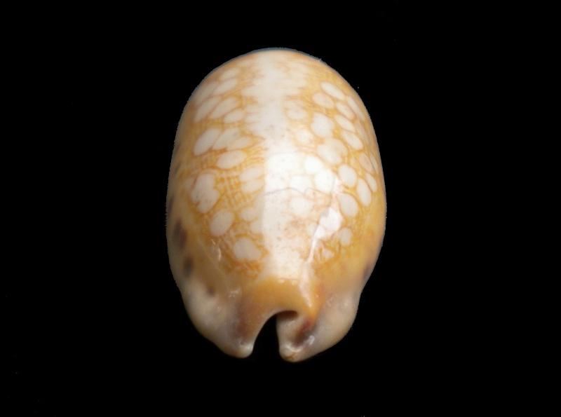 Mauritia scurra mundula - Lorenz, 2002  voir  Mauritia scurra scurra - (Gmelin, 1791) Scurra11