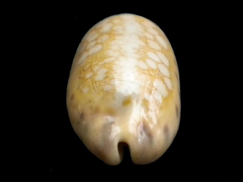Mauritia scurra mundula - Lorenz, 2002  voir  Mauritia scurra scurra - (Gmelin, 1791) Scurra12