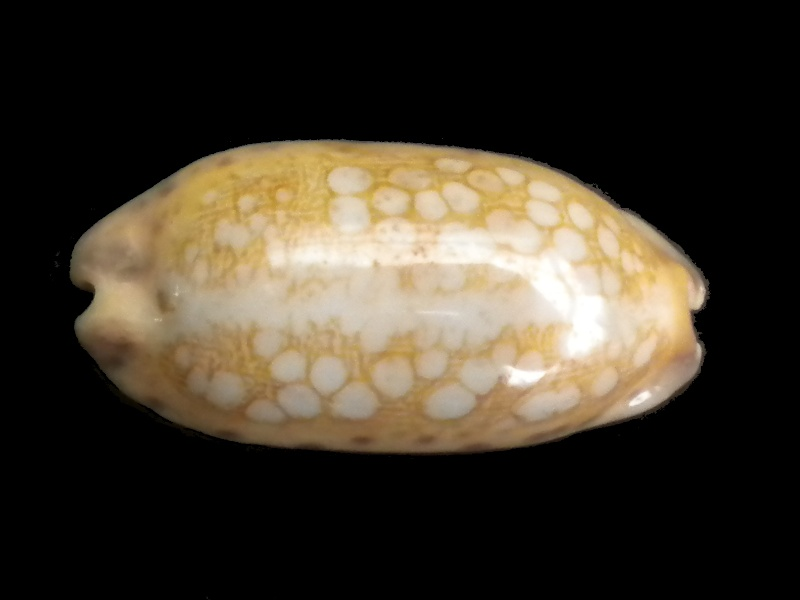 Mauritia scurra mundula - Lorenz, 2002  voir  Mauritia scurra scurra - (Gmelin, 1791) Scurra13