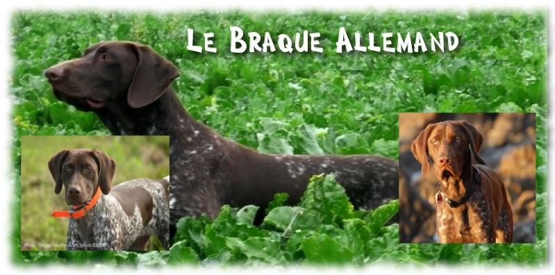 Fiche sur le Braque Allemand a poil court,  Fiche N°3 Braque10