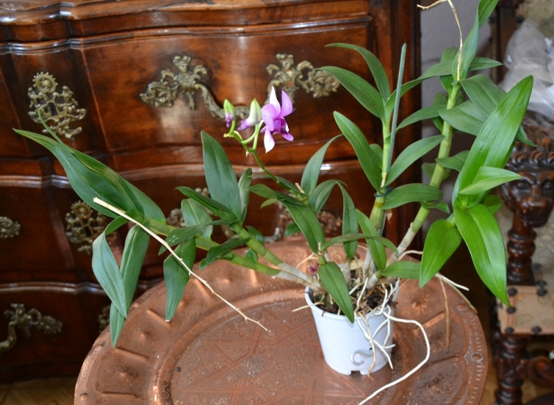 Dendrobium type phalaenopsis M19110