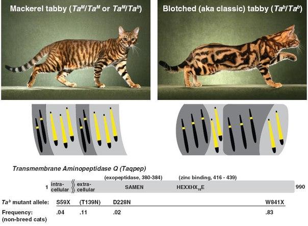 Генетика окрасов: абиссинский, мраморный, тигровый, пятнистость 4ngum910