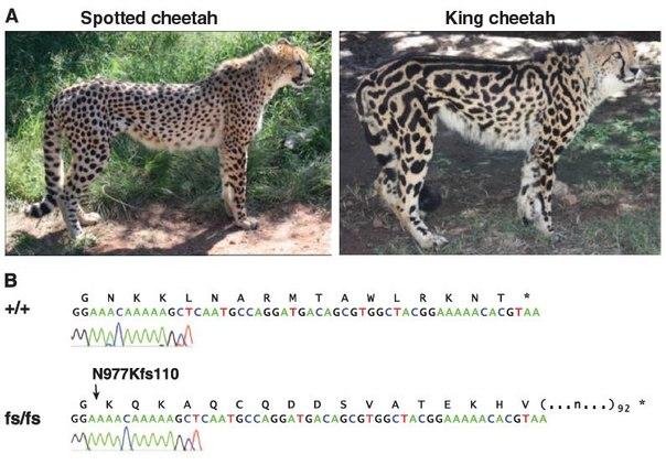 Генетика окрасов: абиссинский, мраморный, тигровый, пятнистость Fz8bcb10