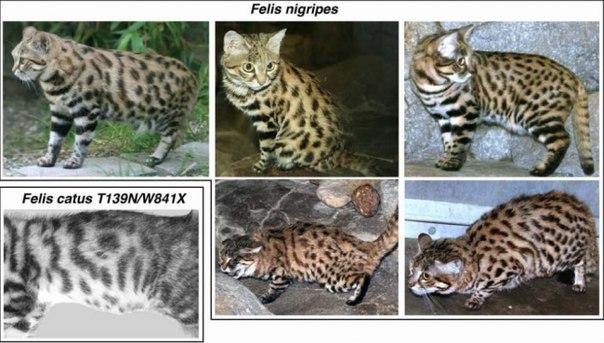 Генетика окрасов: абиссинский, мраморный, тигровый, пятнистость U6l0rz10