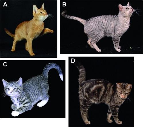 Генетика окрасов: абиссинский, мраморный, тигровый, пятнистость X_100110