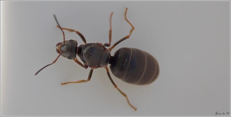 Est-ce une gyne lasius niger ? Lasius10