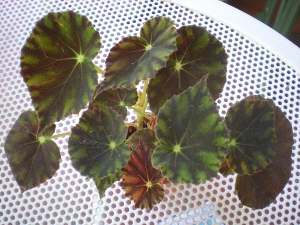 Quelques bégonias rizomateux  Bowera10