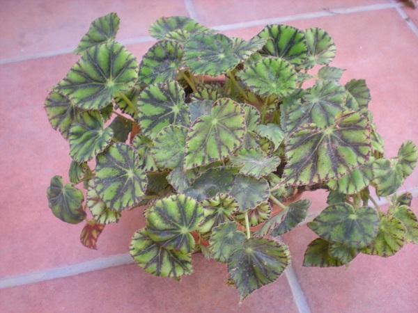 Quelques bégonias rizomateux  Tiger_10