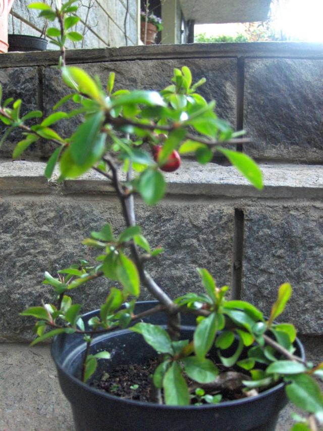 Chaenomeles - info coltivazione Cydoni10