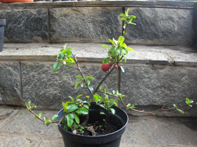 Chaenomeles - info coltivazione Cydoni12