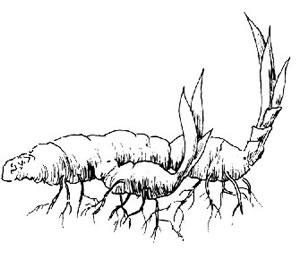 boschetto di bambù Rizoma10