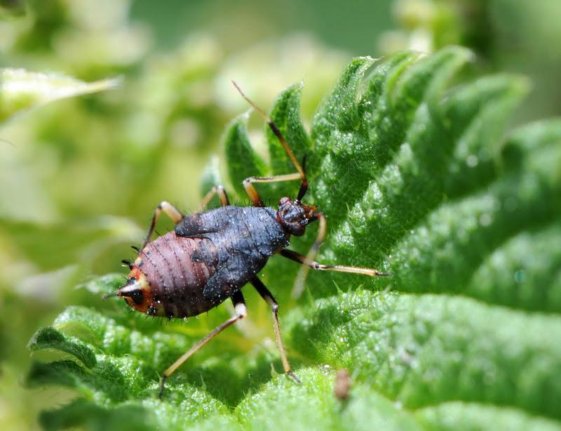 Identification d'un Deraeocoris Den_4211