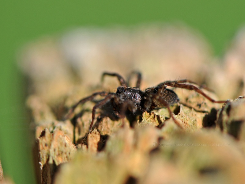 Identification dune Arachnide Dyn_3210