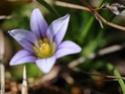 Identification d'une minuscule fleur du littoral Dyn_6813