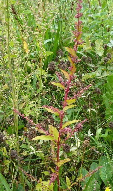 Chenopodium polyspermum [identification] Patien10