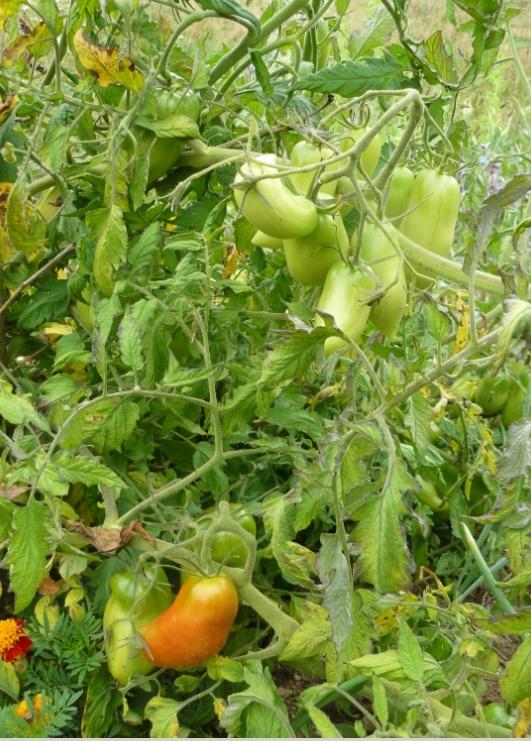 Solanum lycopersicum - les tomates - Page 3 Tomate10