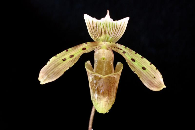 Paphiopedilum tonsum - Paphiopedilum tonsum var. cupreum - Paphiopedilum tonsum var. curtisiifolium Paphio12