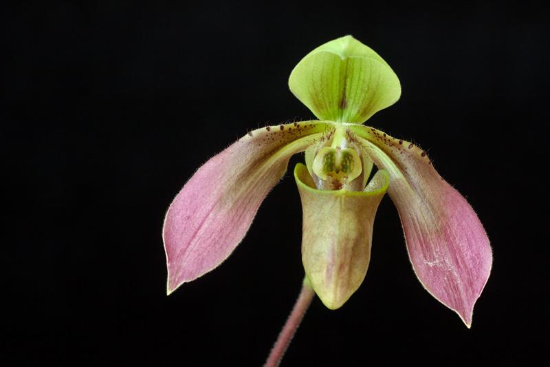 Paphiopedilum bullenianum - amabile - bundtii - celebesense - johorense - tortipetalum - amboinense - ceramense Paphio20