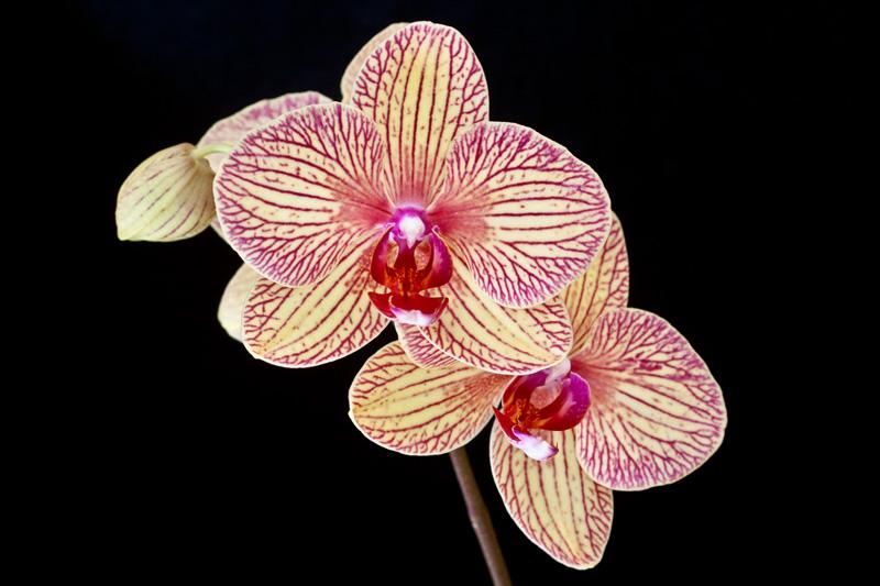 Phalaenopsis Hybride Phalae11