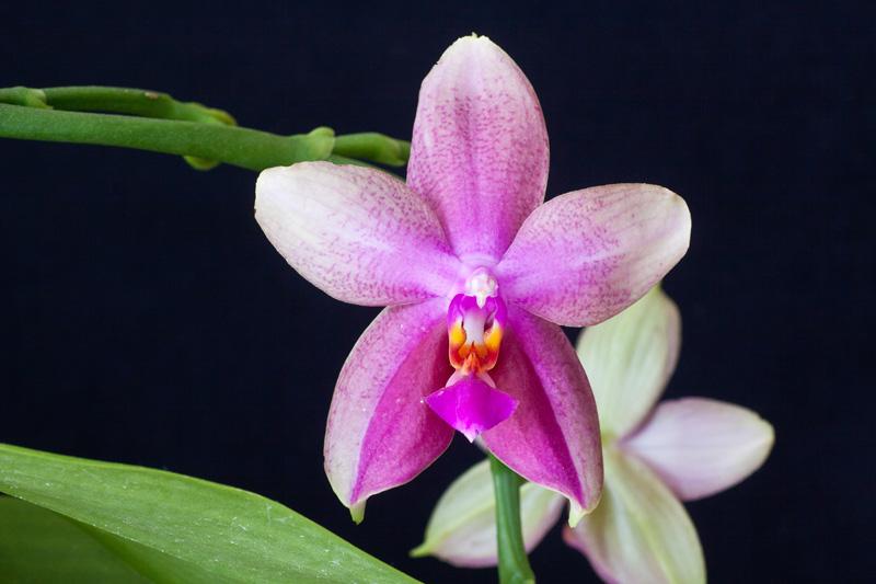 Phalaenopsis Liodoro! Phalae16
