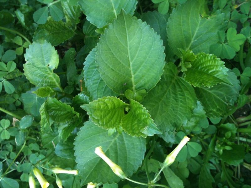 plantes du jardin Img_1331