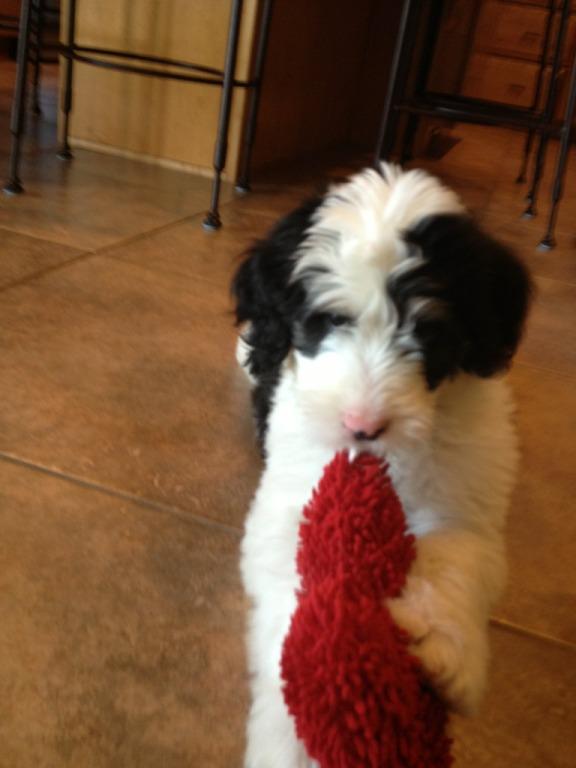 Meet Sheldon! (My gfs family new dog!) (sorry not a husky though)  2ab67f10