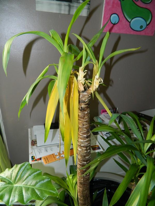 Mon Yucca Malade ? Dscn5210