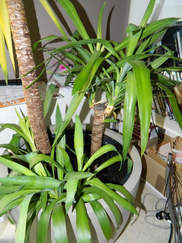 Mon Yucca Malade ? Dscn5211